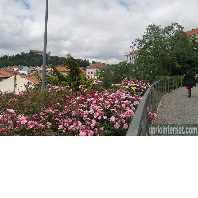 rose rosse del versante di Husova a Brno